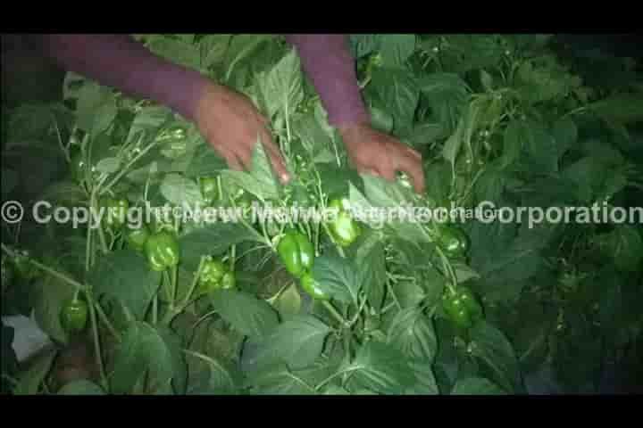 Organic antivirus product for chilli leaf curl virus