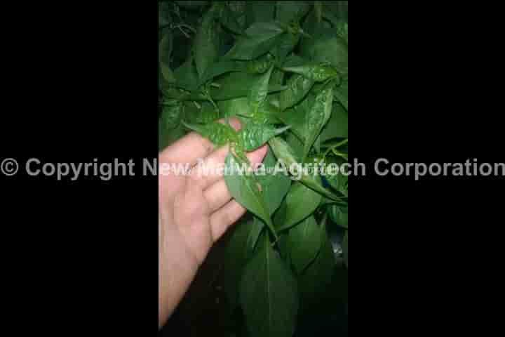 viricide for chilli leaf curl virus india