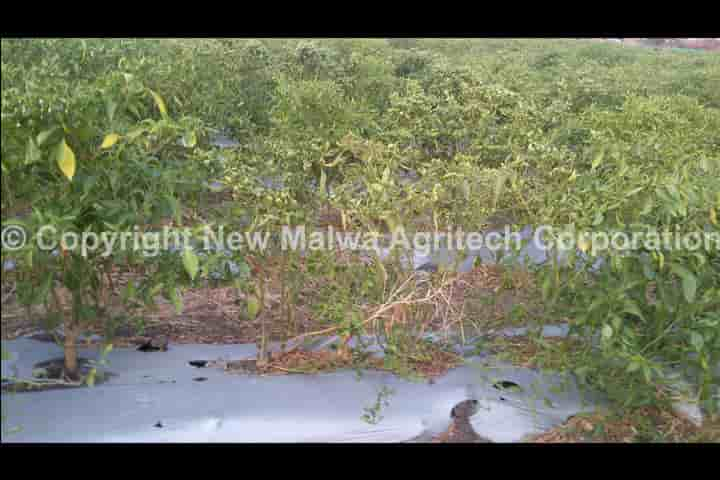 leaf curl virus in crops cure product buy online india
