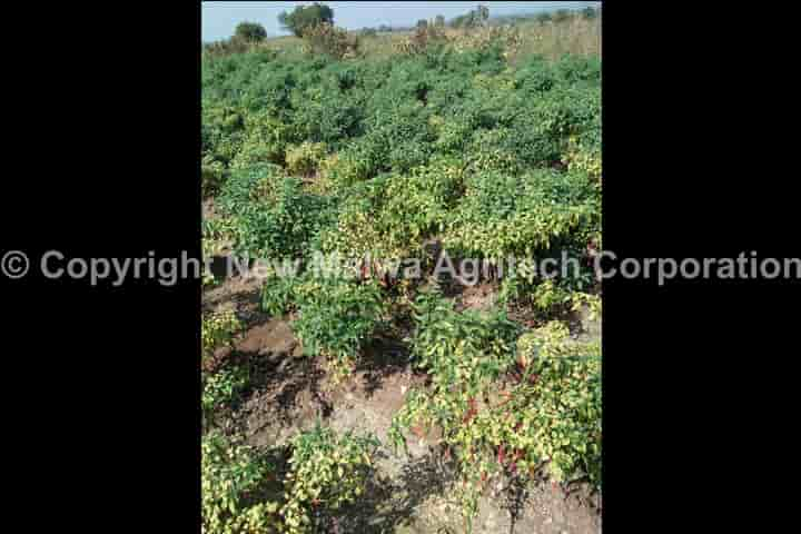 virucide for leaf curl virus in india