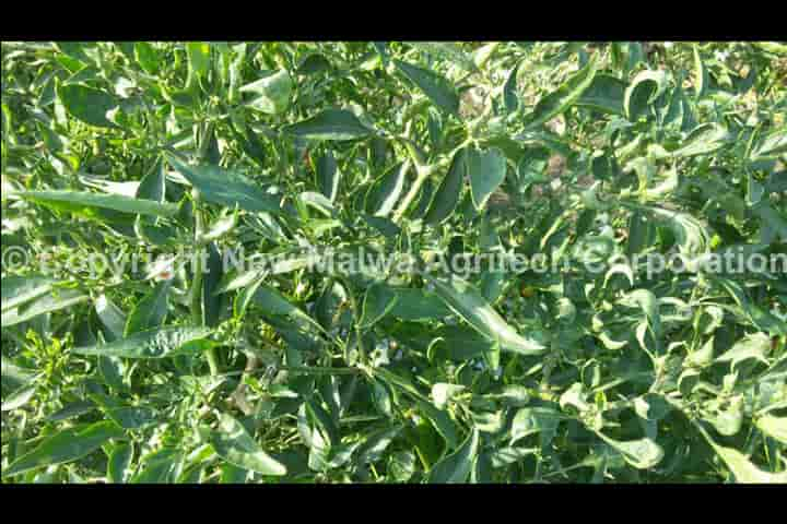 herbal antiviral solution for plants in india