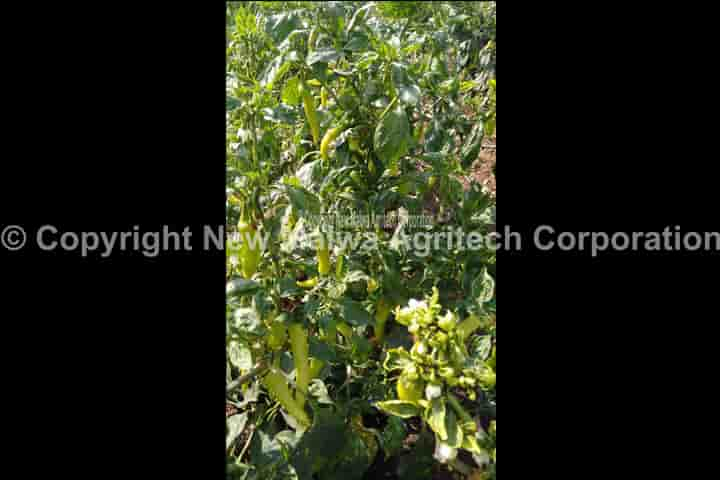 botanical virucide for leaf curl virus in plants in india