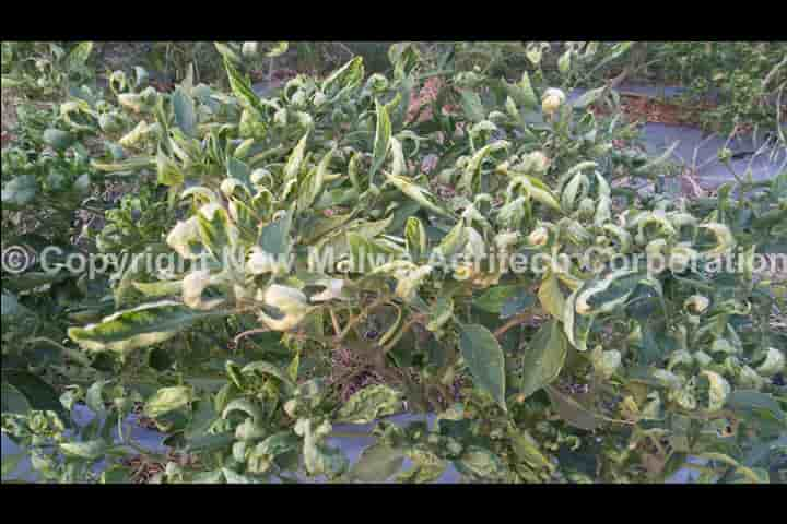 virucidal effect of neem on leaf curl virus in plants in india