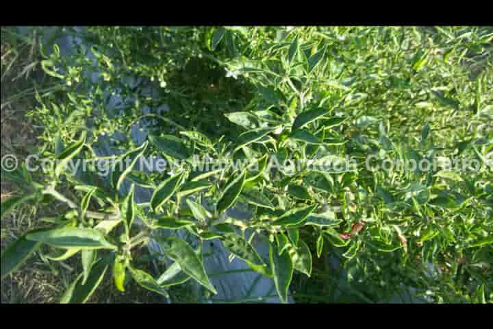 virucidal effect of tulsi on mosiac virus in plants in india
