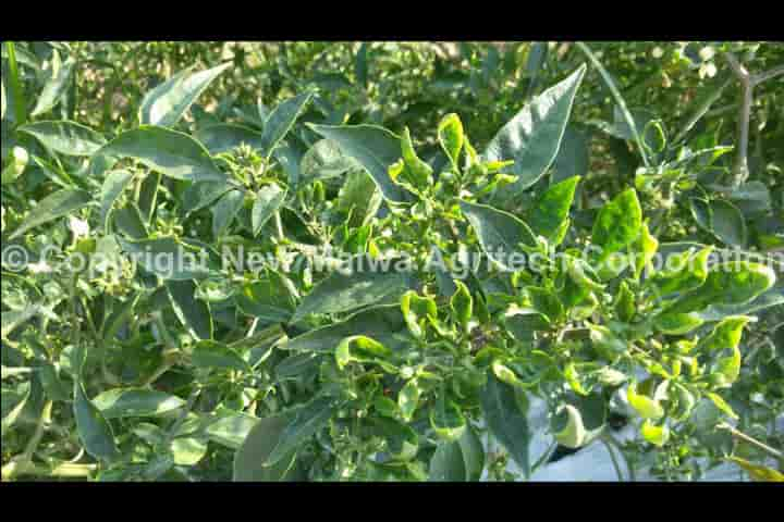 chilli leaf curl virus control