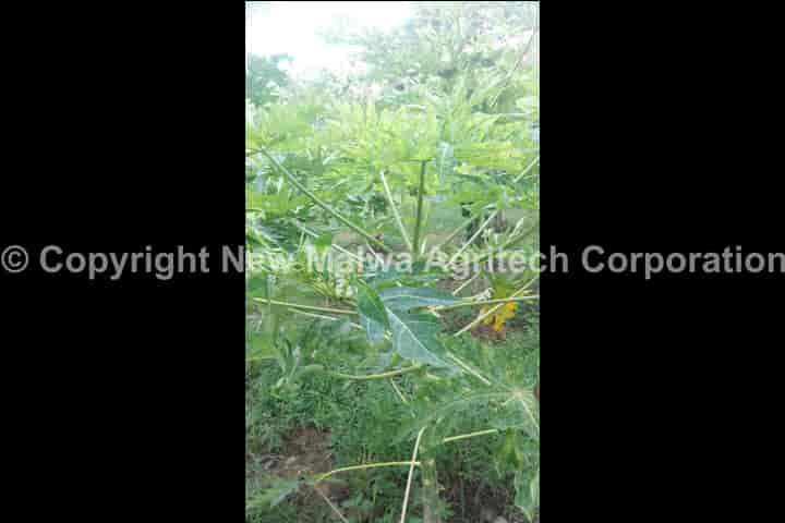 virucide for plants new malwa agritech corporation