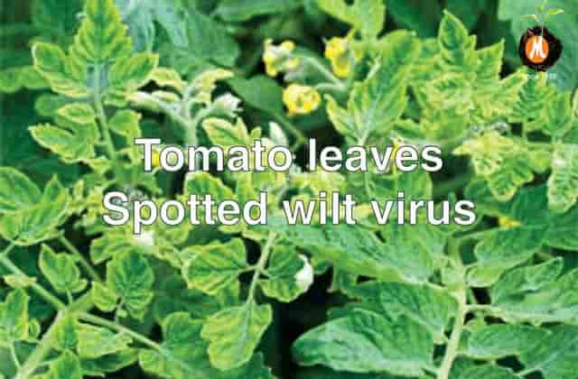 Virucide for Tomato leaves spotted virus